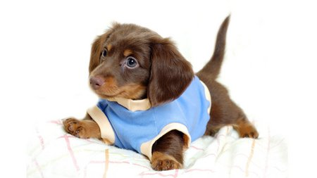 Dressed cute dog - cute, pet, dress, dog, animal