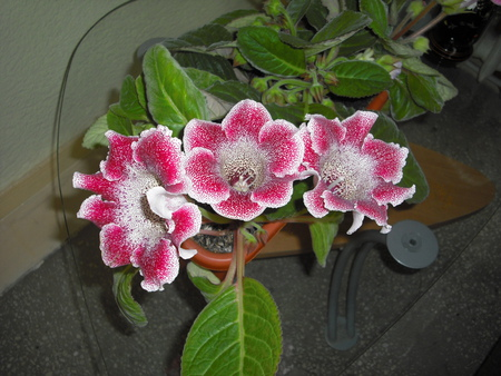 Gloxinia - beauty, flowers, nature, gloxinia
