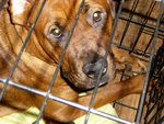 caged in rottweiler boxer mix