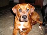 rottweiler boxer mix puppy