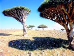 Umbrella Trees of Socotra