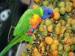 Colorful Cockatoo