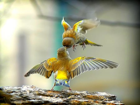 BIRDY KISS - image, rock, nessalanta, wing span, birds, yellow, kiss, two birds, flying, standing