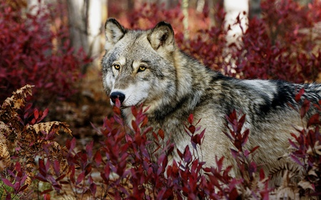 Gray Wolf - gray, leaf, wolf, animals, gray wolf, forests