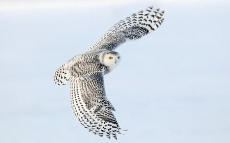 Snowy Owl - white, animals, birds, snowy owl, owl