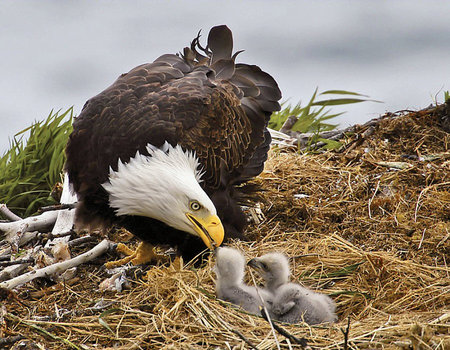 Good Mother - eagles, young, birds, babies, chicks, animals