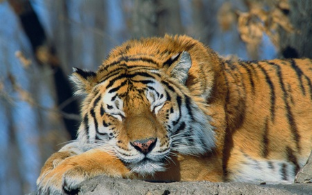 Sleeping Siberian Tiger - beautiful, siberian tiger, animals, cats, russia, tiger