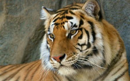 Bengal Tiger - beautiful, animals, cats, bengal tiger, indian tiger, tiger