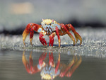 colourful crab