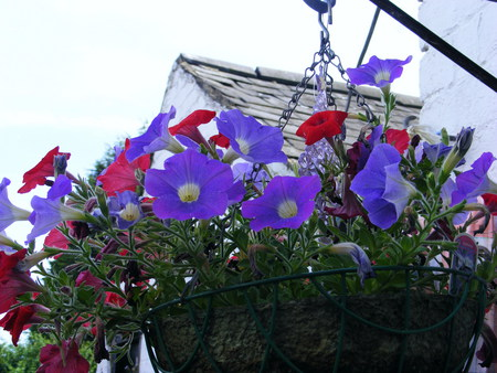 Red and blue Petunias - red, roof, basket, whitespot, blue