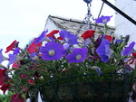 Red and blue Petunias