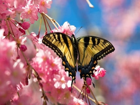 79c740a10 cherry blossom - Butterflies & Animals Background Wallpapers on ...