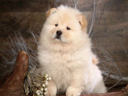 White Chow Chow Dogs Animals Background Wallpapers On Desktop