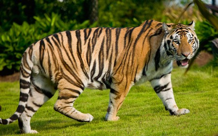 Bengal Tiger - cats, bengal tiger, tiger, indian tiger, animals