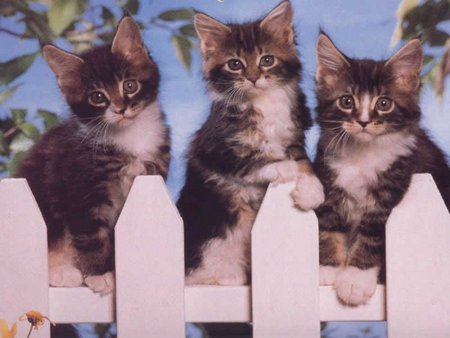 3 cats on fencing - fencing, kitten, 3, cats