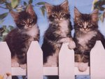 3 cats on fencing