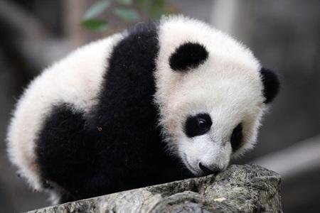 Fuzzy Little Panda Cub - fuzzy, white, panda, little, black, cub