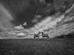 horses-B and W fields