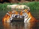 kiss tigress