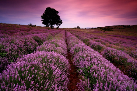 Lavender Splendor - pink clouds, sunset, lavender, sky, tree, purple, lavender field, flower, nature, field