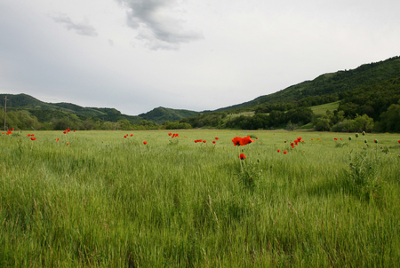 Poppies in the Field - grass, poppies, field, green, red