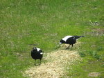 Magpies in the paddock