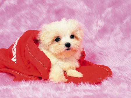 Sweet puppy on red - pink, sweet, poodle, dog, red, puppy, bichon