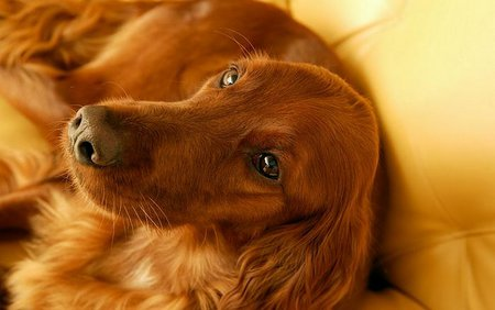 Red Hair Puppy Dogs Animals Background Wallpapers On Desktop