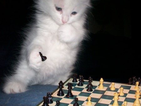 A KITTY PLAYING CHESS really smart - kitten, smart, adorable, cute