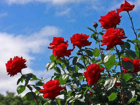 Bigthumbnail Rose Mawar Merah Wallpaper Hd