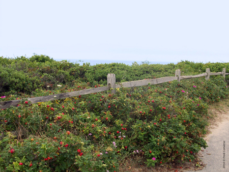 Path to Coast Guard Beach - fence, beach, cape cod, flowers, path