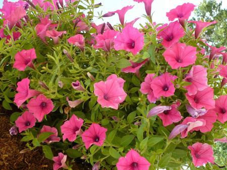 Pink Trumpet Flowers Flowers Nature Background Wallpapers On