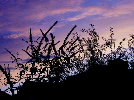 sunset  at home. - silhouettes, buddleia, sky, pink
