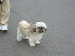 Kino the Shih Tzu