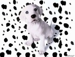 dalmation who exploded