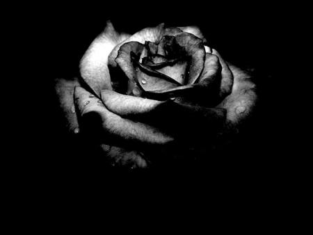 Black Rose - beauty, beautiful, dead, black rose, goth, gothic