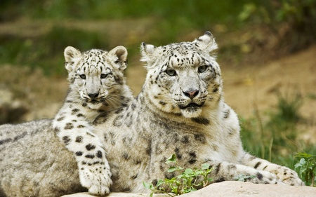 Mother And Cub - leopard, cub, snow leopard, mother, cats, animals