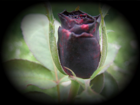 sad rose - flowers, sad, gahan, rose