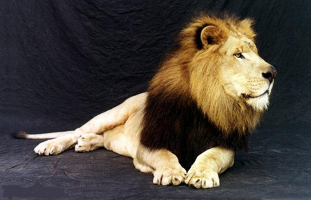 LION - resting, looking, waiting, hoping