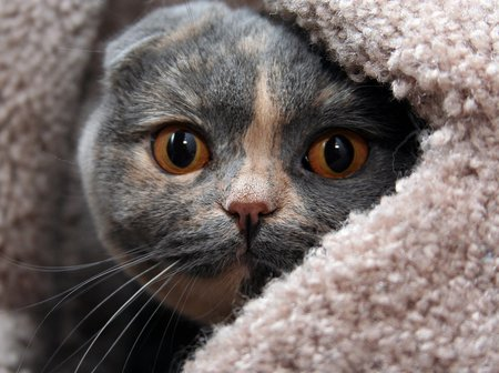 Peek A Boo - peekaboo, feline, scottish fold, cat
