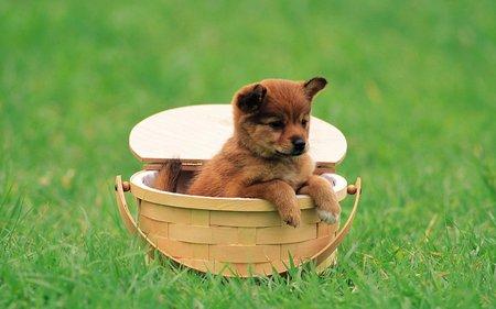 Cute baby dog - grass, puppy, basket, dog, sweet