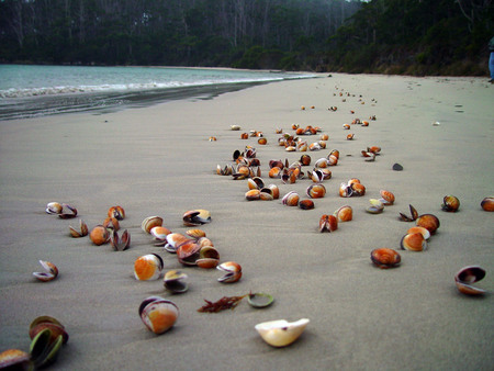 Abandoned Shells - australia, shells, ocean, water, sand, tasmania, pippies, tide, beach