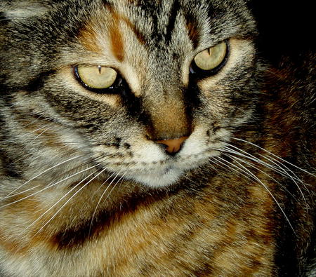My beautiful cat Erica. - eyes whiskers, cat, love, tabby