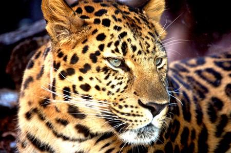 African Leopard - leopard, africa, feline, big cat