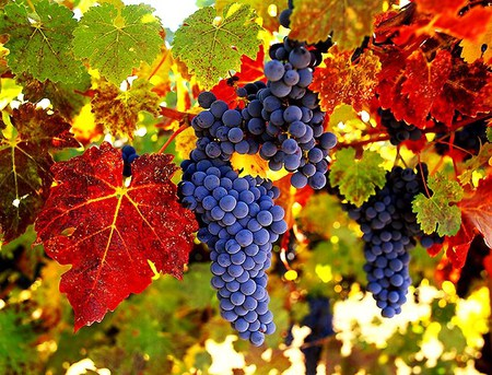 Wine country - orange, grapes, yellow, leaves, blue, red, tree, ripe