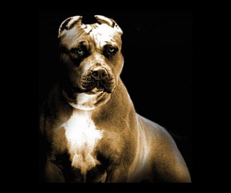 pitbull - animals, dog, pitbull