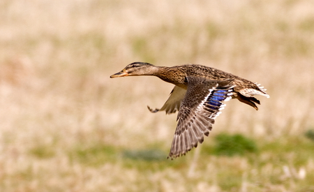 Female Mallard - female, wings, webbed feet, bill, anas platyrhynchos, water, nature reserve, duck, rspb, flying, mallard, ponds, in-flight, water fowl