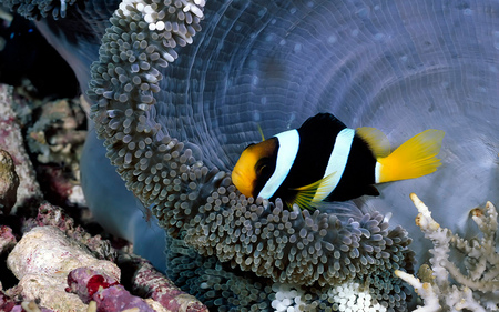 Exotic Reef Beauty - anemone, fish, reefs, coral, exotic