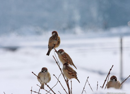 Birds in Winter - small, birds, cold, bare, tree, frozen, asia, snow, japan