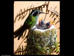 a humming bird and her babies...